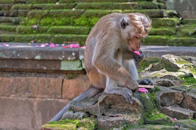 Małpa jedząca lody, sri lanka