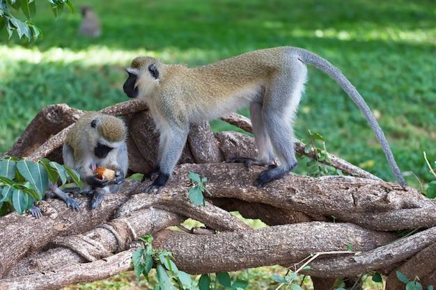 Małpa jedząca owocowy posiłek na trawie