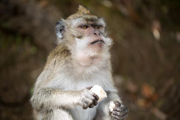 Małpa jedzenia banana