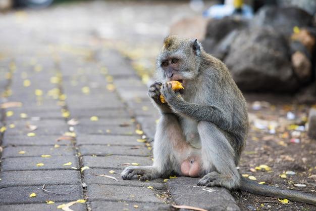 Małpa jedzenia mango na bali