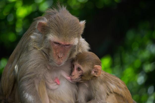Małpa karmi swoje dziecko