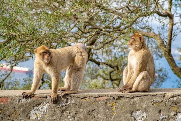 Małpa macaca sylvanus na wolności na półwyspie gibraltar