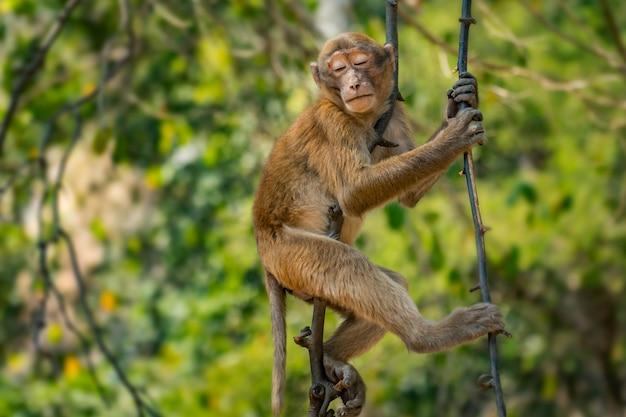 Małpa na drzewnym dosypianiu w lesie