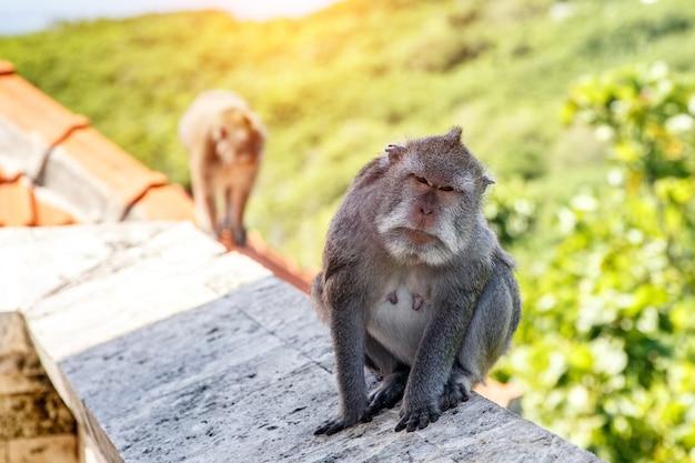Małpa na kamiennym parapecie. tło zielony natura.