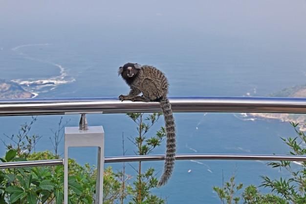 Małpa na sugarloaf górze w rio de janeiro, brazylia