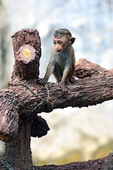 Małpa na wyspie sri lanka na wolności
