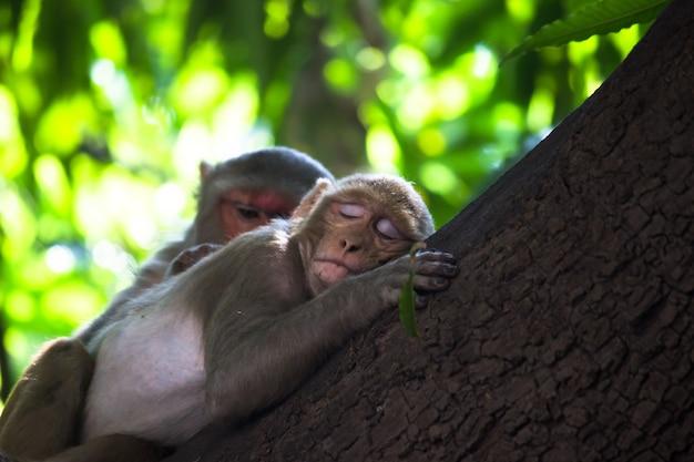 Małpa rezus drzemiąca lub śpiąca na drzewie w letnie południe