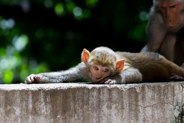 Małpa rezus w zabawnym nastroju na skale i patrząca w kamerę
