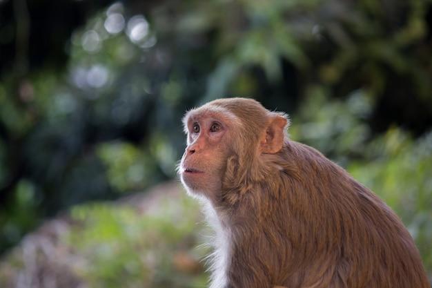 Małpa rhesus macaque