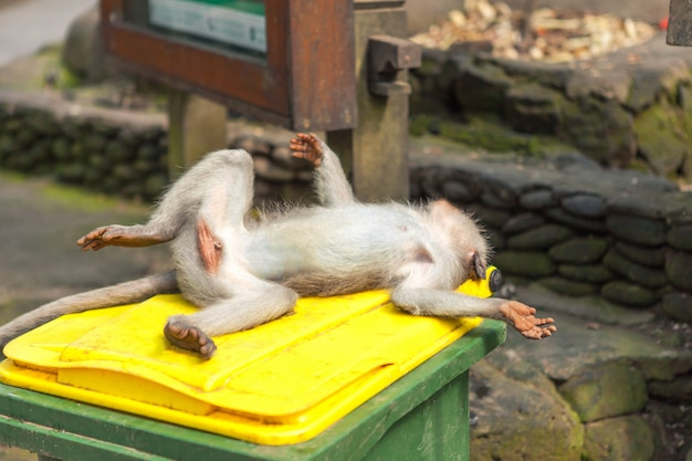 Małpa śpi leżąc na plecach w koszu na śmieci