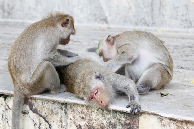 Małpa szuka pcheł i kleszczy