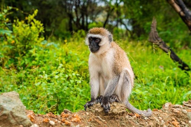 Małpa vervet w parku narodowym lake manyara w tanzanii