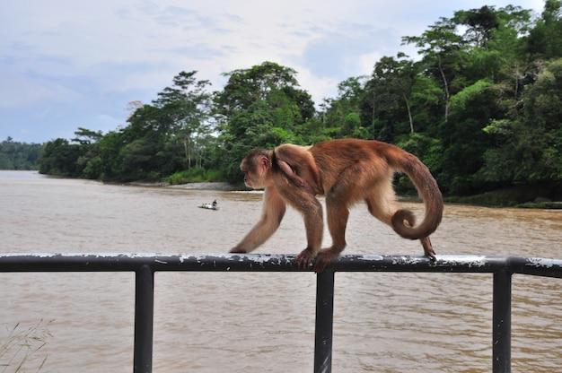 Małpa w dżungli amazońskiej