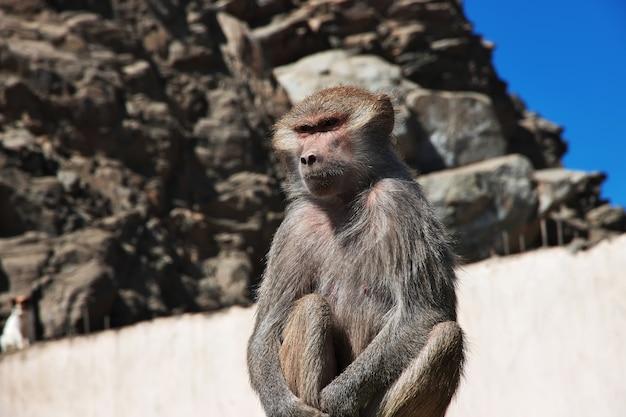 Małpa w górach arabii saudyjskiej