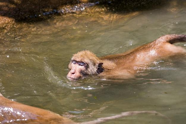 Małpa w wodzie. dzikie zwierzęta.