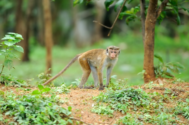 Małpa w żywej naturze. kraj sri lanki