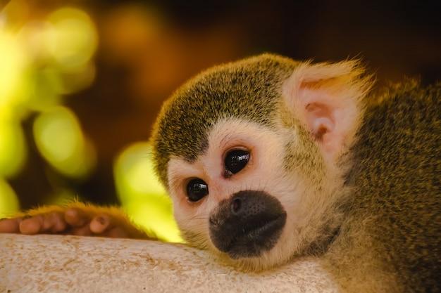 Małpa wiewiórki. małpa wiewiórki śpi na podłodze.