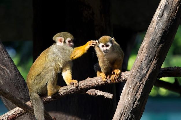 Małpa wiewiórki (saimiri sciureus) żyje w lasach tropikalnych ameryki południowej.