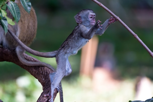 Małpa wspina się po gałęzi