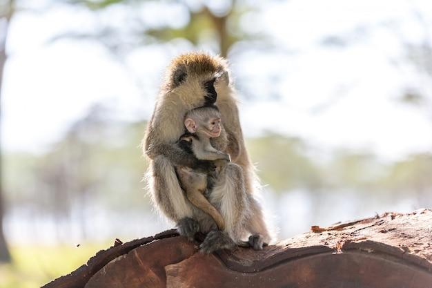 Małpa z młodym kenia
