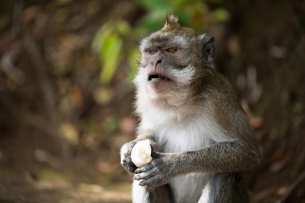 Małpa zjada banana na wolności