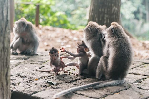 Małpia rodzina z małym dzieckiem w lasowym ubud bali indonezja