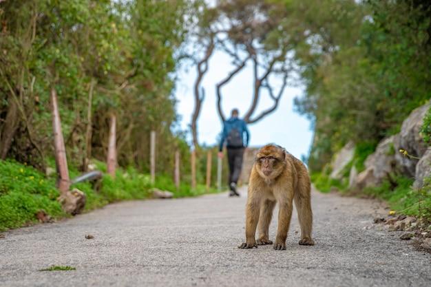 Małpy pilnują territorium na szlaku w tropikalnym lesie. macaca sylvanus