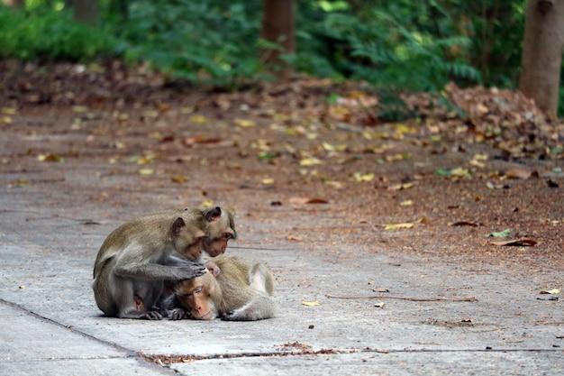 Małpy szukają pcheł i gryzą dla małp