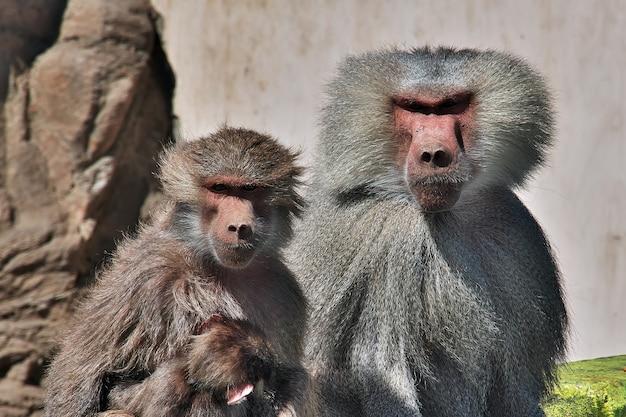 Małpy w arabii saudyjskiej