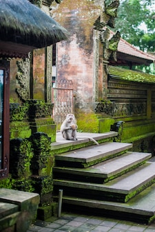 Małpy w małpim lesie, bali