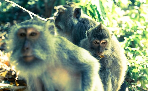 Małpy w ubud bali