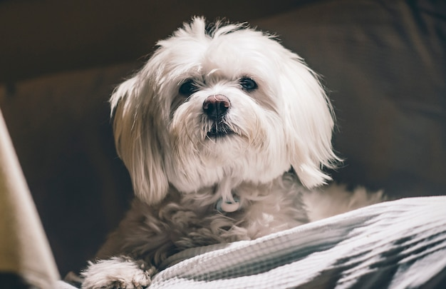 Maltański pies bichon