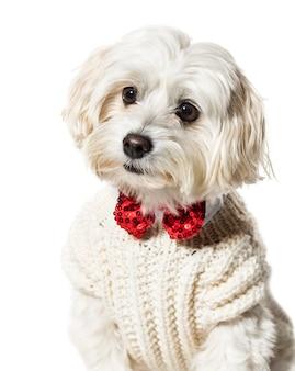 Maltański pies w muszce i swetrze na białym tle