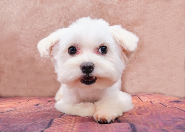Maltański szczeniak leży po oporządzeniu w salonie piękności dla zwierząt. pojęcie piękna dla zwierząt.
