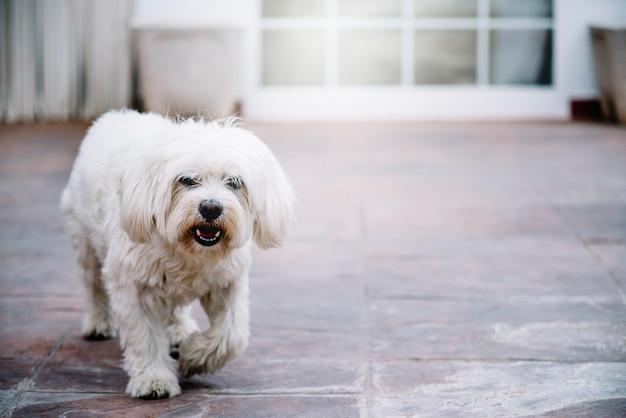 Malty bichon biały pies