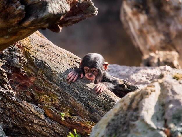 Mały afrykański szympans, wychodzący ze zwalonego pnia drzewa