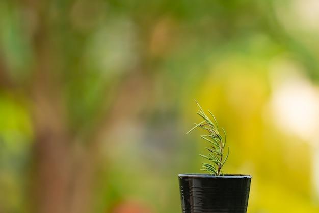 Mały aromatyczny rozmaryn w wzrostowym garnku na zielonym natury tle