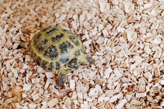 Mały azjatykci lądowy żółw na drewnianych układach scalonych.