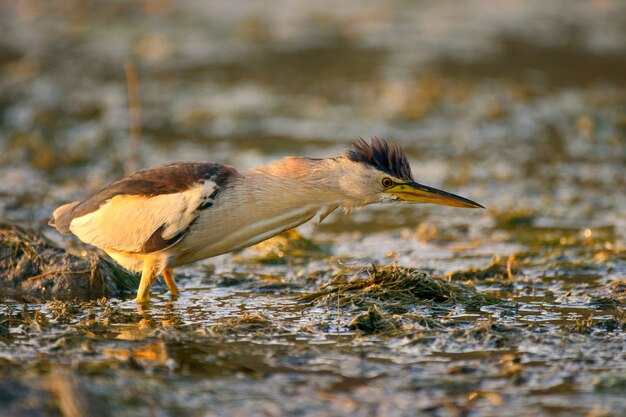 Mały bąk stojący w wodzie i szukający pożywienia.