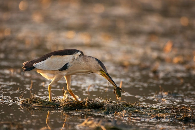 Mały bąk z żabą w dziobie