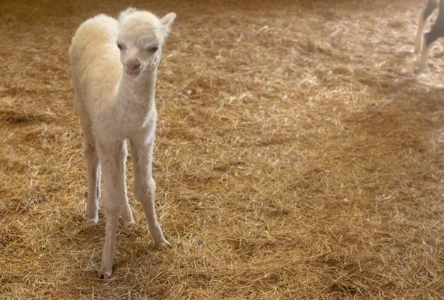 Mały Biały Dziecko Lama W Siano Klatce Premium Zdjęcia