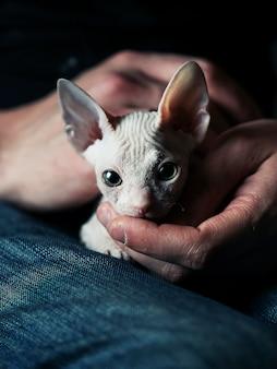 Mały biały kotek sfinks trzymać w rękach