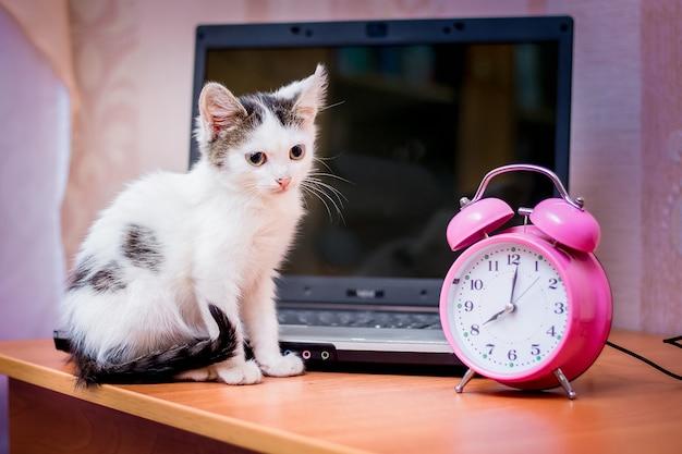 Mały biały kotek siedzący obok laptopa i zegara. rozpoczęcie dnia pracy w biurze