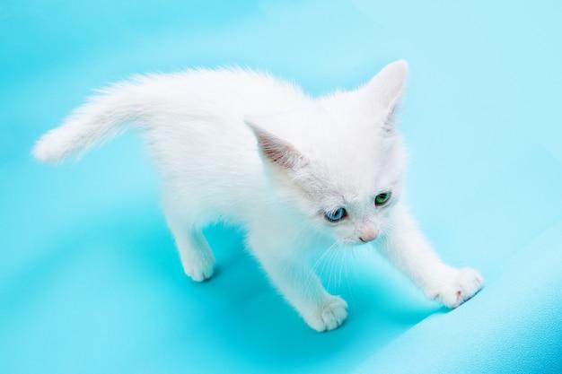 Mały biały kotek z niebieskimi i zielonymi oczami chodzenia na niebieskim tle.