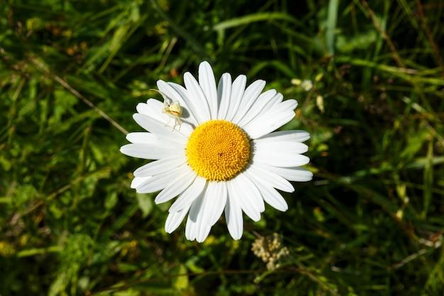 Mały biały pająk na kwiatach płatków rumianku na łące