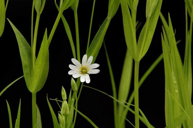 Mały biały rumianek na czarnym tle