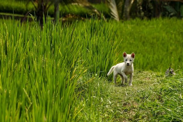 Mały biały szczeniak na tarasach ryżowych jatiluwih, wyspa bali, indonezja