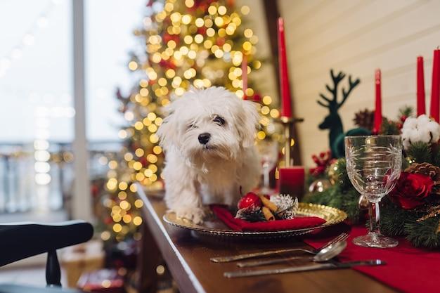 Mały biały terier na ozdobnym stole bożonarodzeniowym, widok z bliska