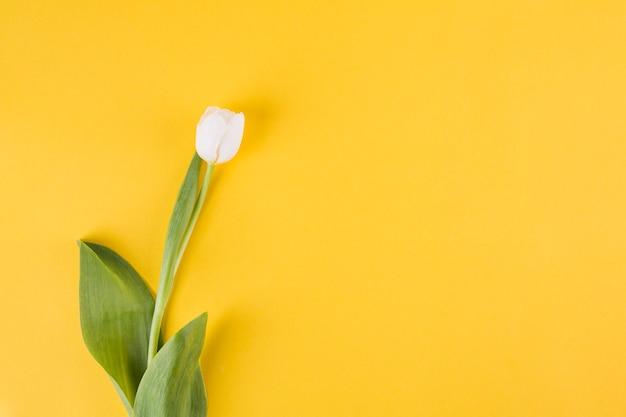 Mały biały tulipanowy kwiat na koloru żółtego stole