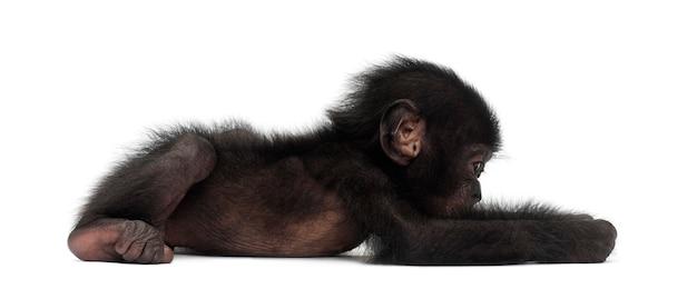 Mały bonobo, pan paniscus, 4 miesiące, leżący na białej powierzchni